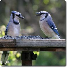 #BlueJay – Learn All About the Bird o' the Day – Backyard Wild #Bird Directory –