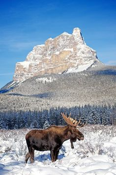Moose Bull in Front of Castle Mountain – Brandon T. Moose Deer, Moose Hunting, Bull Moose, Pheasant Hunting, Turkey Hunting, Archery Hunting, Nature Animals, Animals And Pets, Cute Animals