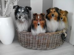 Shetland Sheepdogs 'Caentoo Shelties' the Netherlands  www.caentooshelties.com