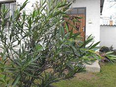 Leander metszése   Nőknek kertről.