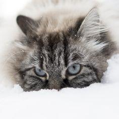 Snow Cat ~