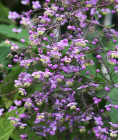 1000 images about gardening perennials on pinterest for Thalictrum rochebrunianum rhs