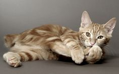 striped cat breeds | Cute Cats Pictures