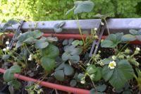 Cultiver des légumes ou des fruits sur son balcon
