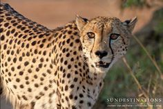 nThambo Tree Camp is the place to spot big cats. Guests loved this sighting of a cheetah in the Klaserie's wild and untamed bush. What a rare find!  #nThamboTreeCamp #cheetah #bigcats #safari #gamedrive