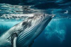 Sanfter Beobachter - Foto: Michael Smith  #Unterwasserwelt #Ozean #Wal