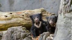 Image result for woodland park zoo sloth bear cubs Cute Tiger Cubs, Cute Tigers, Sloth Bear, Bear Cubs, Woodland Park Zoo, Black Bear, Cute Baby Animals, Cute Babies, Image