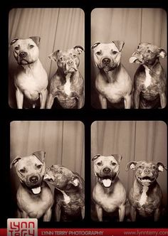 This is what happens when you put two pit bulls in a Photo Booth.