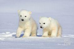 Cute Animals Polar Bears Cute Polar Bear Cub Pics Baby Animal - Polar Bear Pics Animals Innocent Love Polar Bear Cubs Picture Funny P. Polar Bear Party, Baby Polar Bears, Cute Polar Bear, Teddy Bears, Cute Funny Animals, Cute Baby Animals, Animal Babies, Photo Ours, Cubs Pictures