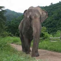 ACTION ALERT - Outrage In Thailand: Save Aged Elephants From Confiscation And Death! Please click the link and take action now: