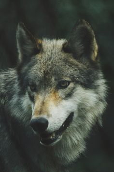 Love them or hate them, wolves are vital members of natural ecosystems and the health of a wolf population can be an important factor in maintaining balance among species. Wolf populations are … Wolf Images, Wolf Photos, Wolf Pictures, Wolf Wallpaper, Animal Wallpaper, Wallpaper Backgrounds, Iphone Wallpaper, Beautiful Creatures, Animals Beautiful