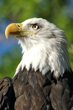 Bald Eagle Bold Eagle, Eagle Pictures, Owl Wall Art, Eagle Wings, Wood Carving Patterns, Birds Of Prey, Raptors, Big Cats, Cat Art
