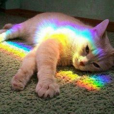 Cat in rainbow prism