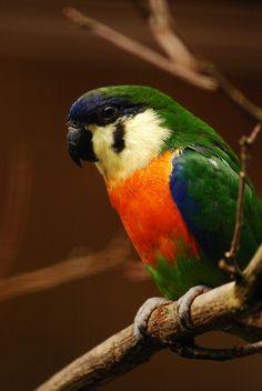 Orange-breasted fig parrot - Cyclopsitta gulielmitertii - Orangebrust-Zwergpapagei | Flickr - Photo Sharing!