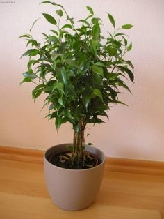 Fíkus Benjamina-----------------  pokojové rostliny pro lajdáky Bonsai Ficus, Easy House Plants, Home Deco, Indoor Plants, Terrarium, Gardening, Inspiration, Design, Plants