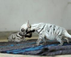 Striped hyena pups  Hyaena hyaena