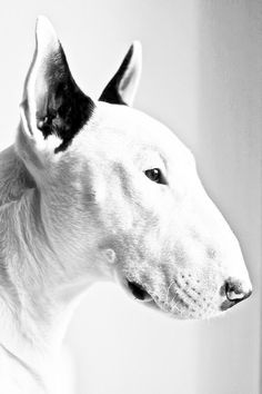 White bull terrier dog, black and white photo. Chien Bull Terrier, Puppy Names, English Bull Terriers, Art Graphique, Dog Walking, Beautiful Dogs, Mans Best Friend, Dogs And Puppies, Doggies