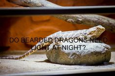 Do Bearded Dragons Need Light At Night? Bearded dragons do not need light at night. Likewise, it would do them a world of good to have a completely dark resting place at night where they can sleep Bearded Dragon Tank Setup, Bearded Dragon Lighting, Lighting Setups, Cool Lighting, Best Night Light, Dragons, Sleep, Dark, Reptiles