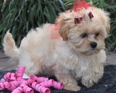 => Registration Papers - Dog Training  => Lifetime Satisfaction Guarantee=> AKC Papers We have the best Maltipoo puppies, clean and intelligent Puppies Maltipoo puppies for Adoption All registered and health Teacup Maltipoo For Sale, Maltipoo Puppies For Sale, Maltipoo Dog, Mini Puppies, Pomeranian Puppy For Sale, Cute Little Puppies, Cute Dogs, Spaniels For Sale, Spaniel Puppies For Sale