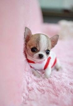 Little teacup chihuahua, oh so cute