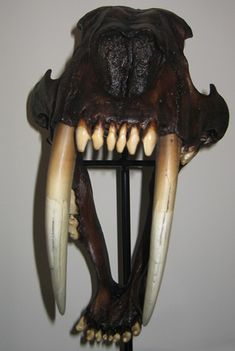 The business end of a Smilodon (Sabre-Tooth Cat), a Smilodon fatalis skull on display at Everything Dinosaur.