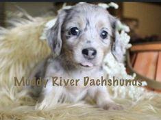 Dachshund Breeders, Weimaraner Puppies, Dachshund Puppies For Sale, Dachshund Adoption, Dogs And Puppies, Cute Animals, Miniatures, Pretty Animals, Cutest Animals