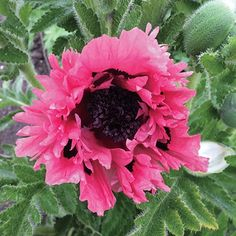 Pink Perfect Poppy