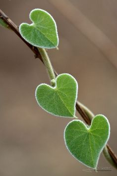 Heart Shaped Leaves