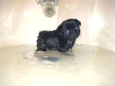 DON'T MAKE ME WASH!   - A sad-looking puppy standing in a bath tub filled with water.