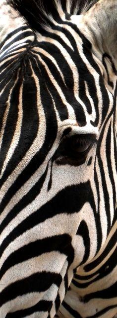 Photograph zebra by KingMcBenz . on 500px