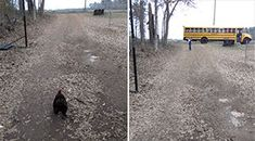 This Excited Rooster Runs To Greet His Big Sister Every Day When The School Bus Pulls Up.