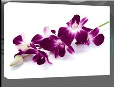 Plum orchids white background