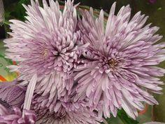Spider Mums - Gonzalez Wholesale Flowers