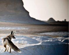 Desert Fox in white Desert - Oases - Egypt