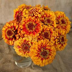 Excelent - TALL Macarena Zinnia Seeds produce flowers with scarlet petals and golden tips.  Harris Seeds makes growing zinnias easy with quality tested seeds.  Order today!
