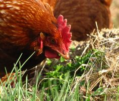 Plants chickens love to eat: For extra happy free range chickens, grow some of these for your flock to forage and feast on!