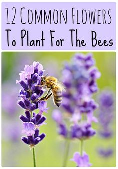 12 Common Flowers to Plant for the Bees (that are good for us too!) - 12 Common Flowers to Plant for the Bees: honey bee on a lavender blossom Source by leeellenp - Honey Bee Flowers, Bee On Flower, Bee Balm Flower, Growing Flowers, Planting Flowers, Flower Gardening, Flowering Plants, Flowers To Plant, Butterfly Garden Plants