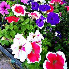 πετούνια Gelato Shop, Backyard, Flowers, Gardens, Garden, Plants, Patio, Outdoor Gardens, Backyards