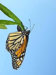 Five Surprises That Emerged From Monarch Butterfly Genomes | Science | Smithsonian