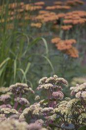 contemporary back garden design Edinburgh - Sedum 'Gooseberry Fool' and Achillea 'Wather Funcke'