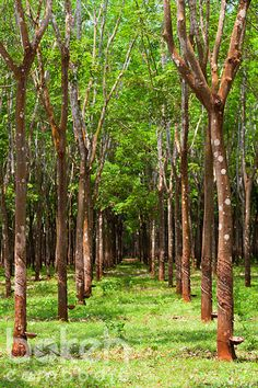 Chup rubber plantation | Tbong Khmum Province, Cambodia
