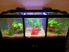 Divided tanks are a hazard and cause undue stress, which can lead to illness and death. Furthermore, bettas need densely planted tanks and/or multiple hides, which this tank does not even come close to providing. Betta Fish Tank, Beta Fish, Aquarium Fish Tank, Fish Tanks, Tropical Freshwater Fish, Freshwater Aquarium, Nano Tank, Aquarium Design, Beautiful Fish