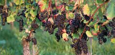 Impressionen Weintrauben | #wine_passion