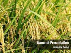 Rice Plant PowerPoint Templates - Rice Plant PowerPoint Backgrounds, Templates for PowerPoint, Presentation Templates, PowerPoint Themes Free Powerpoint Presentations, Powerpoint Themes, Powerpoint Presentation Templates, Rice Plant, Ppt Themes, Presentation Backgrounds, Social Icons, Planting Seeds, Plants
