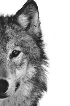 Ici un loup