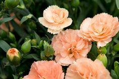 Dianthus - bottom right corner Dianthus Flowers, Flowers Perennials, Flowers For You, Cut Flowers, Fall Wedding Flowers, Autumn Wedding, Wheelbarrow Planter, Botanical Gardens, Garden Landscaping