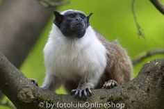 Mantelaffe_Saguinus bicolor-7