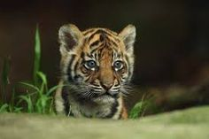 A Sumantran tiger cub seen on display at Taronga Zoo on October 2011 in Sydney, Australia. by Mark Kolbe/Getty Images Tiger Habitat, Baby Animals, Cute Animals, Wild Animals, Tiger Wallpaper, Computer Wallpaper, Tiger Pictures, Pet Tiger, Animal Kingdom