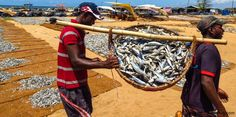 Fish market dried fish production Negombo Sri Lanka #srilanka #fish #driedfish #travel #travelphotography