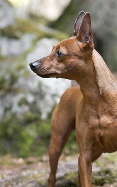 Forest walk | Miniature Pinscher